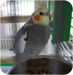 Cockatiel for adoption in Vineland, New Jersey - Zornaq