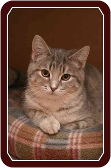Domestic Shorthair Cat for adoption in Sterling Heights, Michigan - Kalani - ADOPTED!