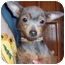 Photo 3 - Chihuahua/Chinese Crested Mix Dog for adoption in Bloomsburg, Pennsylvania - Lola & Princess