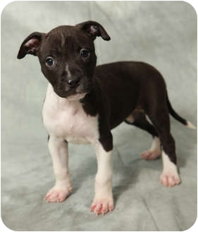 American Pit Bull Terrier Puppy for adoption in Portland, Oregon - Daisy