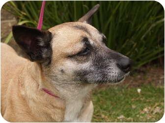 Corgi/German Shepherd Dog Mix Dog for adoption in El Cajon, California - Midge