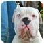 Photo 1 - English Bulldog/American Bulldog Mix Dog for adoption in Van Nuys, California - Magoo