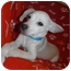 Photo 3 - Chihuahua Mix Puppy for adoption in Jackson, Michigan - Bumble Bee