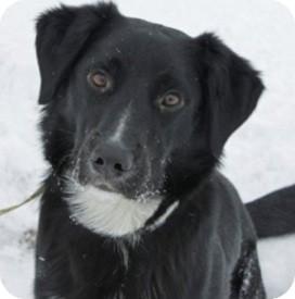 Labrador Retriever/Border Collie Mix Dog for adoption in Portage la Prairie, Manitoba - Benni