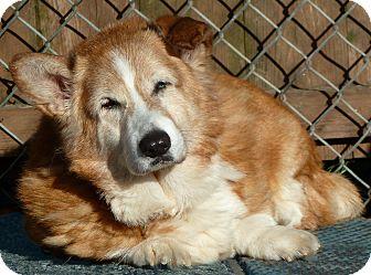 Corgi Dog for adoption in Carmel, New York - Mac