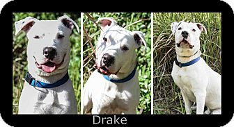 American Bulldog Mix Dog for adoption in Bartow, Florida - Drake