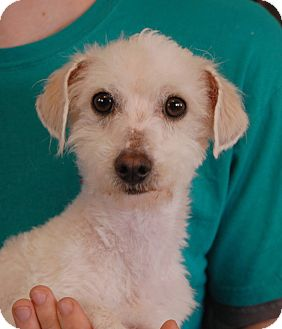Poodle (Toy or Tea Cup) Mix Dog for adoption in Las Vegas, Nevada - Pistol