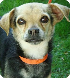 Chihuahua Mix Dog for adoption in Red Bluff, California - Gerardo-$45 Adoption Fee