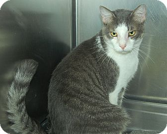 Domestic Shorthair Cat for adoption in Bradenton, Florida - Beethoven