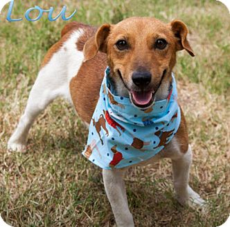 Jack Russell Terrier/Terrier (Unknown Type, Small) Mix Dog for adoption in Bartlesville, Oklahoma - Scout