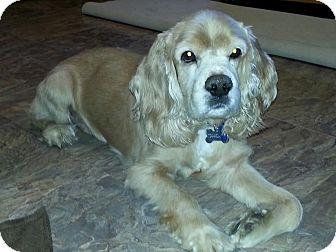 Cocker Spaniel Mix Dog for adoption in Mentor, Ohio - Beasley 5yr Adopted