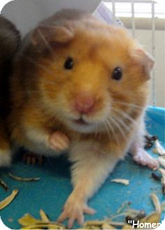 Hamster for adoption in Key Largo, Florida - Homer