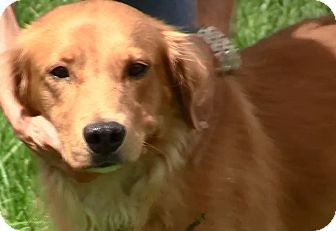 Golden Retriever Dog for adoption in New Canaan, Connecticut - Graham