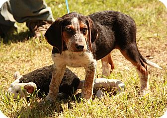 Black and Tan Coonhound/Bluetick Coonhound Mix Puppy for adoption in Hagerstown, Maryland - Tahlulah ($50 Off!)