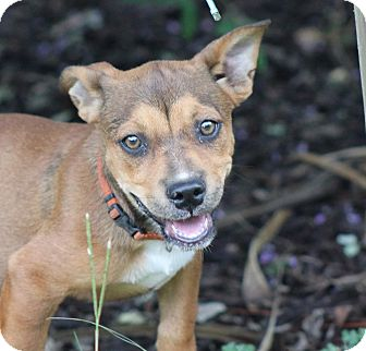 Boxer Mix Puppy for adoption in Jesup, Georgia - Indy