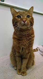 Domestic Shorthair Cat for adoption in St. James City, Florida - Garfield