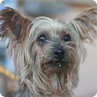 Adopt A Pet :: Sassy - Canoga Park, CA