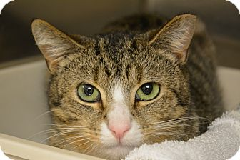 Domestic Shorthair Cat for adoption in Worcester, Massachusetts - Timmy