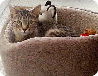 Domestic Shorthair Cat for adoption in Cincinnati, Ohio - Louise