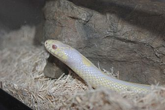 Snake for adoption in Middle Island, New York - Elvis
