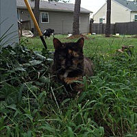 Calico Cat for adoption in Browns Mills, New Jersey - Beauty