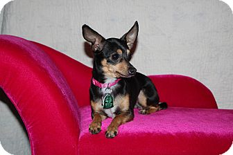 Chihuahua Dog for adoption in Yukon, Oklahoma - Isabelle