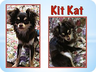 Chihuahua Puppy for adoption in Cocoa, Florida - Kit Kat