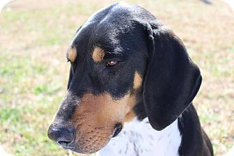 Doberman Pinscher/Bluetick Coonhound Mix Dog for adoption in Kittery, Maine - Darrel