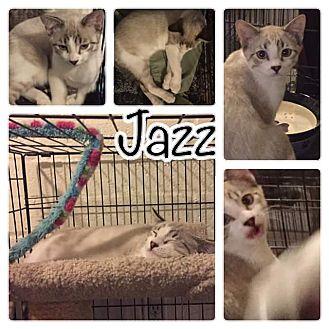 American Shorthair Kitten for adoption in Scottsdale, Arizona - Jazz