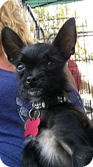 Yorkie, Yorkshire Terrier/Chihuahua Mix Dog for adoption in Carson, California - SYD