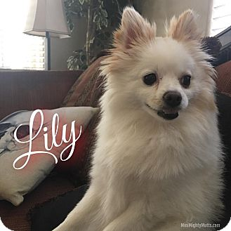 Pomeranian Mix Dog for adoption in Phoenix, Arizona - Lily