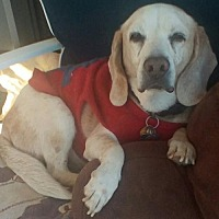 Beagle Dog for adoption in Apple Valley, California - Copper B