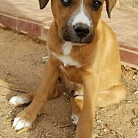 Boxer/German Shepherd Dog Mix Dog for adoption in Surprise, Arizona - Dancing Bear and Pooh bear PAIR