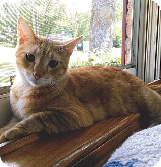 Domestic Shorthair Cat for adoption in Lombard, Illinois - Rodney