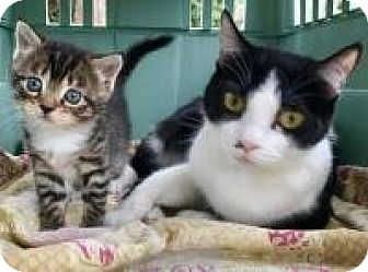 Domestic Shorthair Cat for adoption in New Smyrna Beach, Florida - Cindy & Valentina