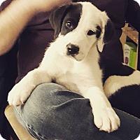 Adopt A Pet :: Mardi - Bowie, MD