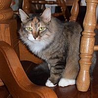 Domestic Longhair Cat for adoption in Salisbury, North Carolina - Ashley