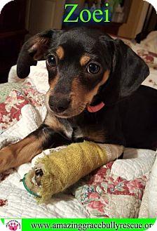 Chihuahua/Dachshund Mix Dog for adoption in Pensacola, Florida - Zoei