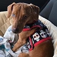 Adopt A Pet :: Spark - Pearland, TX
