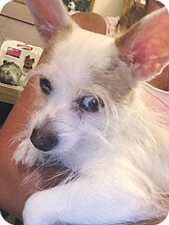 Maltese/Chihuahua Mix Dog for adoption in Brattleboro, Vermont - Draco