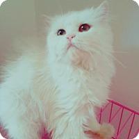 Adopt A Pet :: Ariele Purrsian - Norwalk, CT