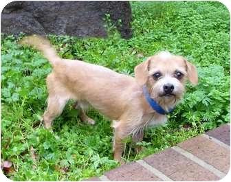 Dachshund/Terrier (Unknown Type, Small) Mix Dog for adoption in Mocksville, North Carolina - Tom