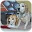 Photo 3 - Beagle Dog for adoption in Port Washington, New York - Willie