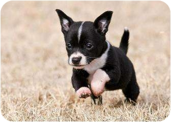 Boston Terrier/Chihuahua Mix Puppy for adoption in Westport, Connecticut - Molly