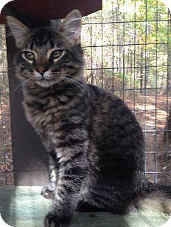 Maine Coon Kitten for adoption in Monroe, Georgia - Moe
