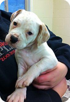 Boxer/Pit Bull Terrier Mix Puppy for adoption in Manassas, Virginia - Truffles