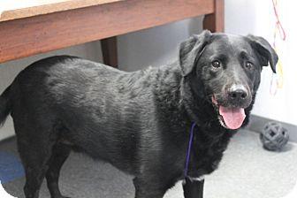 Labrador Retriever/Golden Retriever Mix Dog for adoption in Gustine, California - COCO