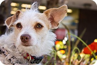 Terrier (Unknown Type, Small)/Terrier (Unknown Type, Small) Mix Dog for adoption in Los Angeles, California - Whitney