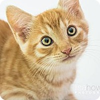 Adopt A Pet :: Major - Montreal, QC