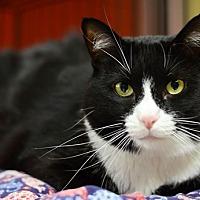 Domestic Shorthair Cat for adoption in Santa Fe, New Mexico - Delphi